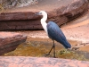 Pacific Heron at Dales Gorge