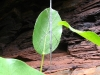 Stick insect on leaf.  Which end is which?