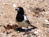 Pied Butcherbird – a friendly, inquisitive resident of East Lewis Island, Dampier Archipelago