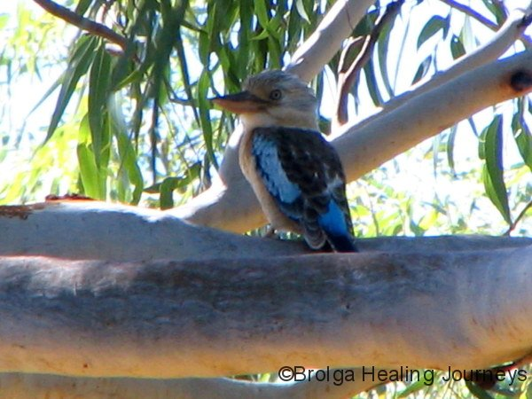 Blue Winged Kookaburra.  The Pilbara WA
