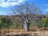 Medium sized Boab in Keep River Ntl Pk, just across the border in the NT