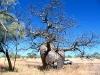 Boab, beside road to Mornington Wilderness Conservancy, the Kimberley WA