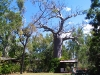 Boab, centre-piece of the garden at Ellenbrae Station, the Kimberley WA