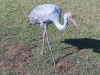 Juvenile, orphaned Brolga, at Parry Creek Farm near Wyndham WA. Our heart went out to this young bird.