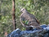 Common Bronzewing, Bunya Mtns National Park, QLD