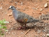 Common Bronzewing, Alice Springs Desert Park