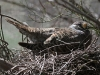 Common Bronzewing on its nest