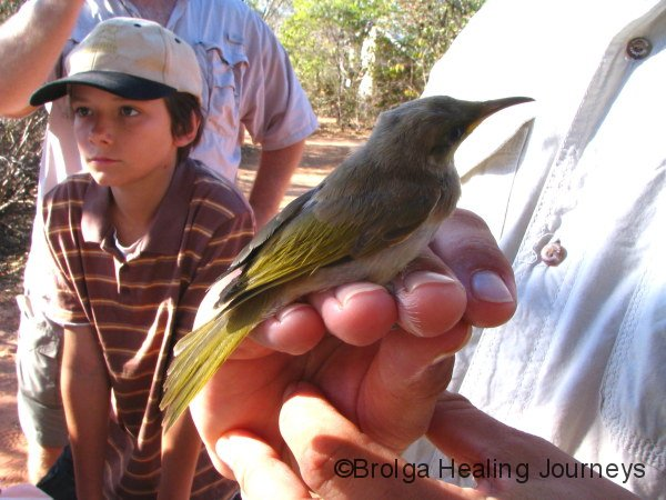 Brown Honeyeater about to be banded at Broome Bird Observatory.  Held by Warden Nic Ward, this gives a good idea of how small these birds are.