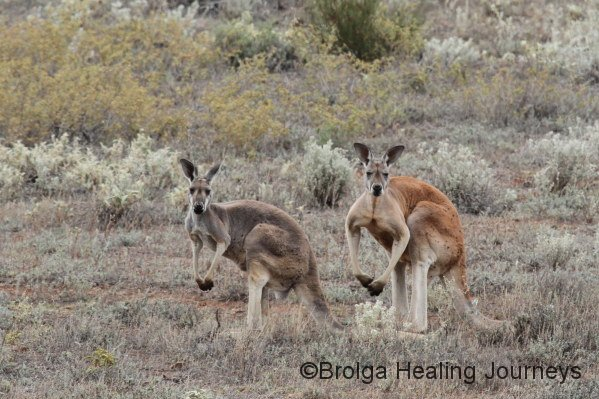 Red Kangaroos, female (left) and male (right). Impressive creatures indeed.