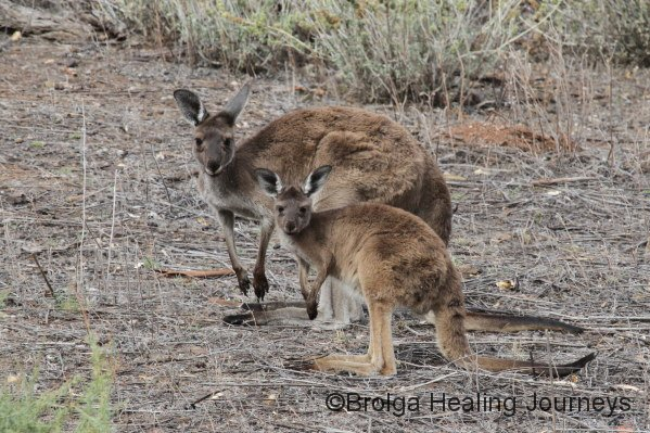 Female and juvenile Western Grey Kangaroos