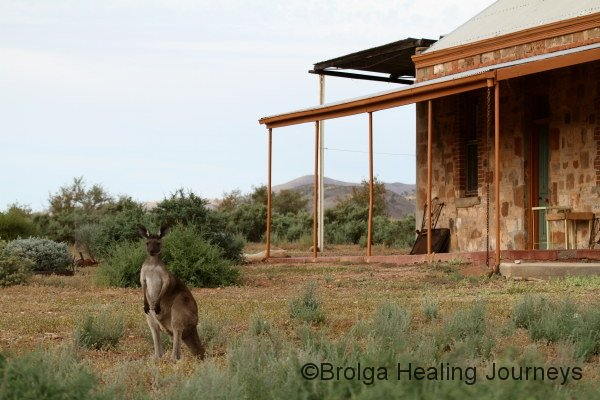 The welcoming committee!  Female Western Grey Kangaroo near the Buckaringa cottage