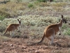 Female and joey Red Kangaroos.  Mother has another young in the pouch by the looks of things.