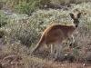 Young Red Kangaroo.
