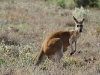 Female Red Kangaroo with pouch young.