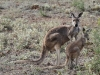 Female and joey Red Kangaroos