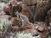 Yellow-Footed rock Wallaby in Middle Gorge.  Until they move, they are extremely difficult to spot high up on the rock-faces.