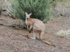 Male Euro (Common Wallaroo).  As you can see, the males are strongly built creatures.