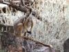 Yellow-Footed Rock Wallaby near Buckaringa Gorge