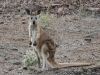 Euro (Common Wallaroo)