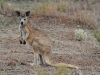 Euro (Common Wallaroo