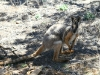 Yellow-Footed Rock Wallaby near Middle Gorge