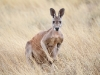 Red Kangaroo in the long grass at Buckaringa
