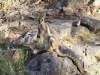 Yellow-Footed Rock Wallaby in Buckaringa Gorge.  Beautiful, extremely well-camouflaged creatures that seem to disappear into the rock-faces.