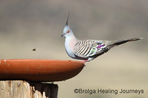 Crested Pigeon at the birdbath