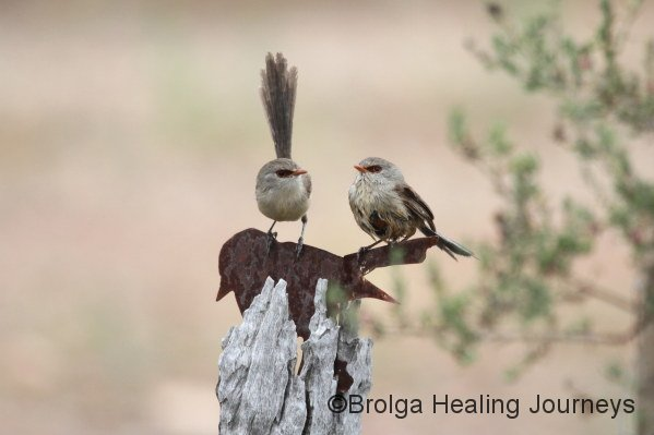 Two female Variegated Fairy Wrens