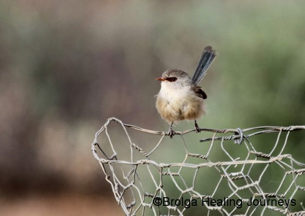 A female Variegated Fairy Wren.