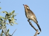 A Spiny-Cheeked Honeyeater at Buckaringa.  We were surrounded by these beautiful birds.