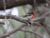 A male Red-Capped Robin in Middle Gorge