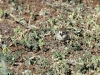 A Southern Whiteface.  These tiny birds would work their way across the ground near the cottage in search of food