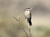 A Spiny-Cheeked Honeyeater