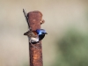 A male Variegated Fairy Wren near Buckaringa cottage