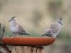 Two Crested Pigeons enjoy the birdbath
