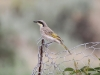 A Singing Honeyeater