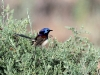 A male Variegated Fairy Wren