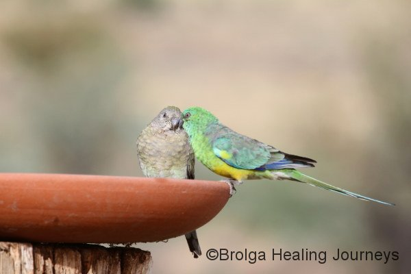 A tender moment between two Red-Rumped Parrots