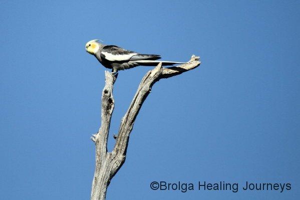 Male Cockatiel at Buckaringa