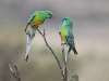 Red-Rumped Parrots.  A couple of males have a difference of opinion
