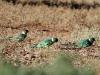 Australian Ringneck Parrots enjoy a morning feed.