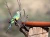 Australian Ringneck Parrot at the birdbath at Buckaringa.