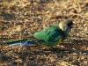 An Australian Ringneck Parrot enjoys a morning feed.