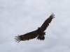 Wedge-tailed Eagle near Buckaringa Gorge