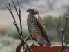 A young Brown Goshawk on the birdbath near Buckaringa cottage.