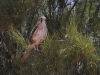 Brown Falcon at Buckaringa.