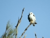 Black-shouldered Kite near Buckaringa cottage.  A frequent visitor.