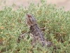 Central Bearded Dragon at Buckaringa.  This gorgeous reptile loved to warm itself in the sun each morning.