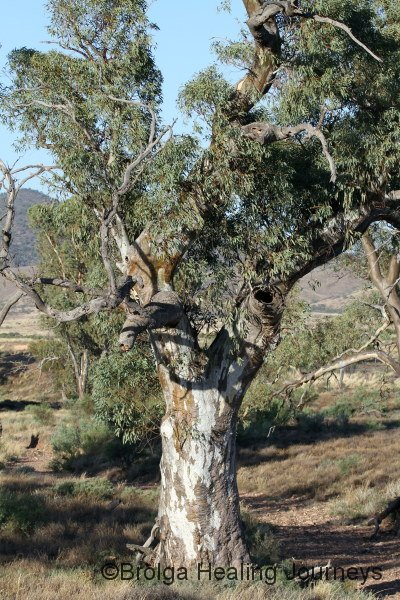 River Red Gum in Buckaringa Creek